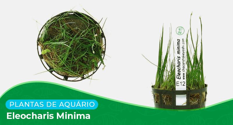 Ficha técnica: Planta Eleocharis minima