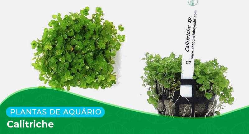 Ficha técnica: Planta Calitriche