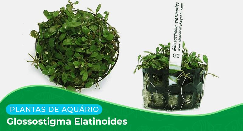 Ficha técnica: Planta Glossostigma elatinoides
