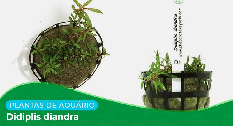 Ficha técnica: Planta Didiplis diandra