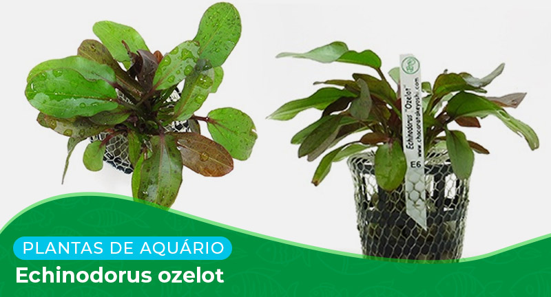 Ficha técnica: Planta Echinodorus ozelot