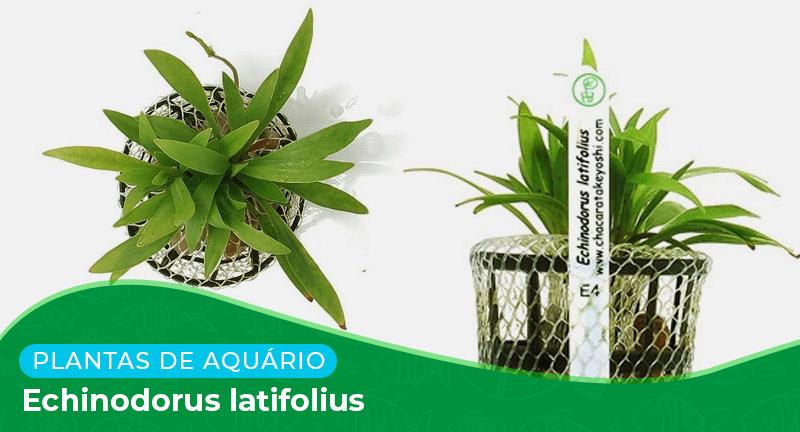 Ficha técnica: Planta Echinodorus latifolius