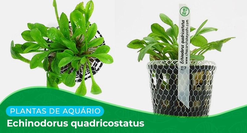 Ficha técnica: Echinodorus quadricostatus