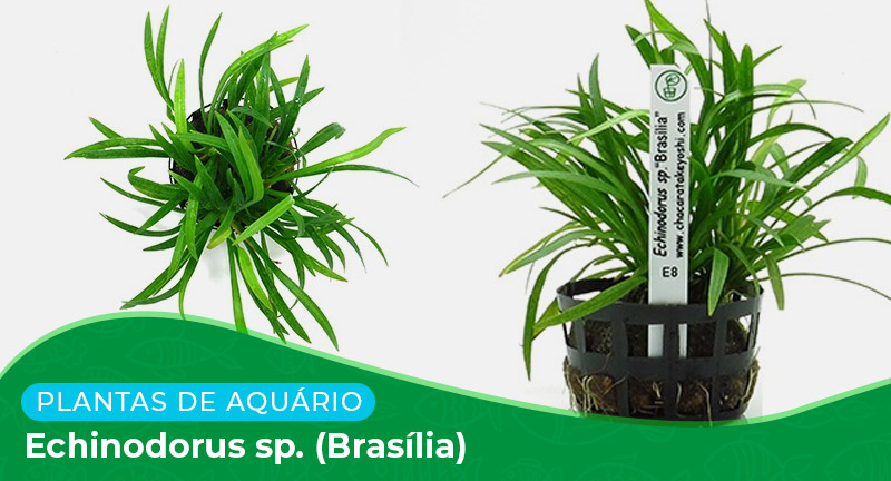 Ficha técnica: Echinodorus sp. (Brasilia)