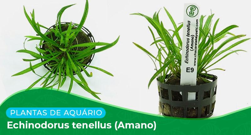 Ficha técnica: Echinodorus tenellus