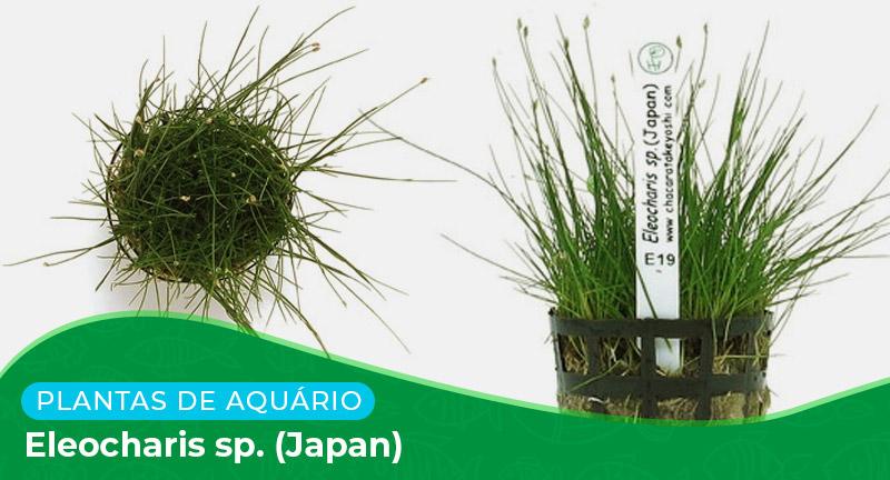 Ficha técnica: Planta Eleocharis sp. (Japan)