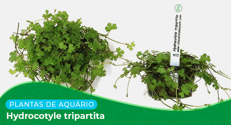 Ficha técnica: Planta Hydrocotyle tripartita