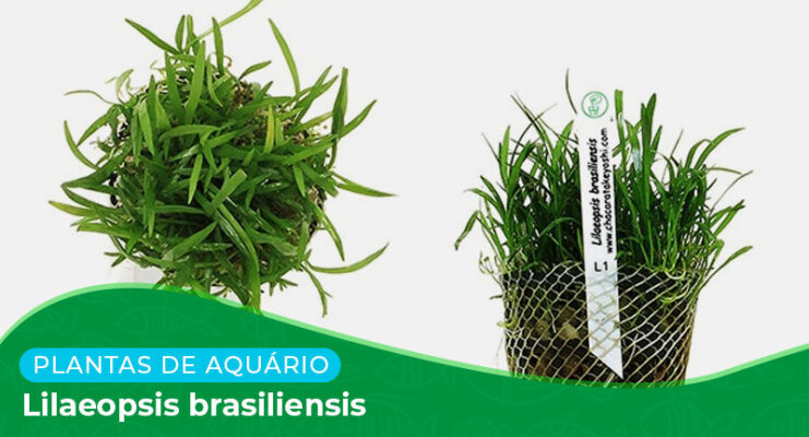 Ficha técnica: Lilaeopsis brasiliensis