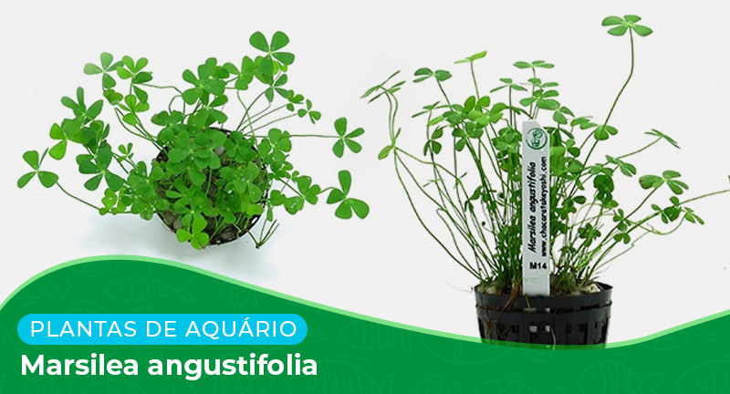 Ficha técnica: Marsilea angustifolia