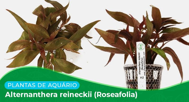 Ficha técnica: Alternanthera reineckii (Roseafolia)