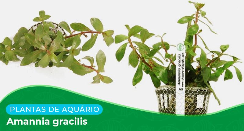 Ficha técnica: Planta Amannia gracilis