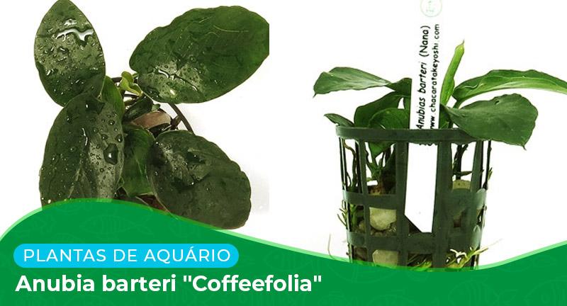 "Ficha técnica: Planta Anubia barteri ""Coffeefolia"""