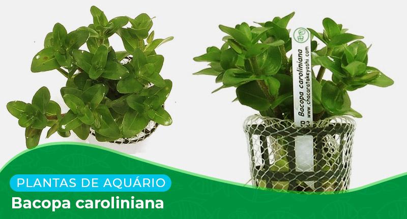 Ficha técnica: Planta Bacopa caroliniana