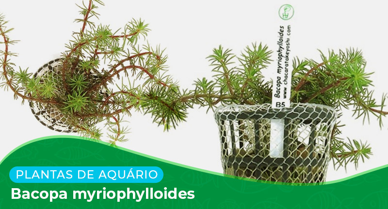 Ficha técnica: Planta Bacopa myriophylloides