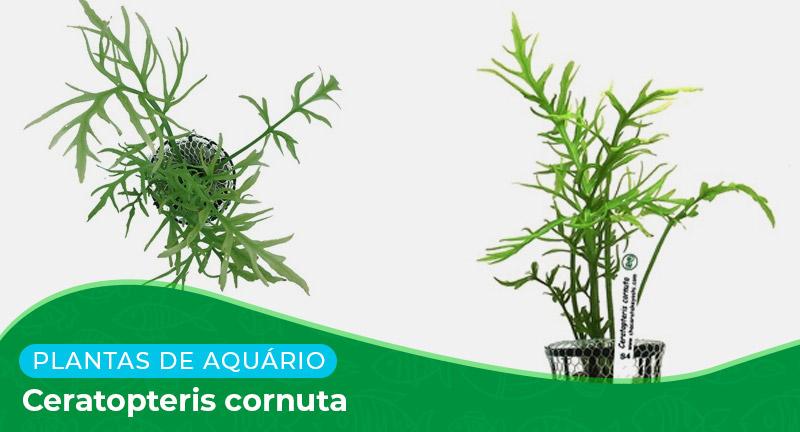 Ficha técnica: Planta Ceratopteris cornuta