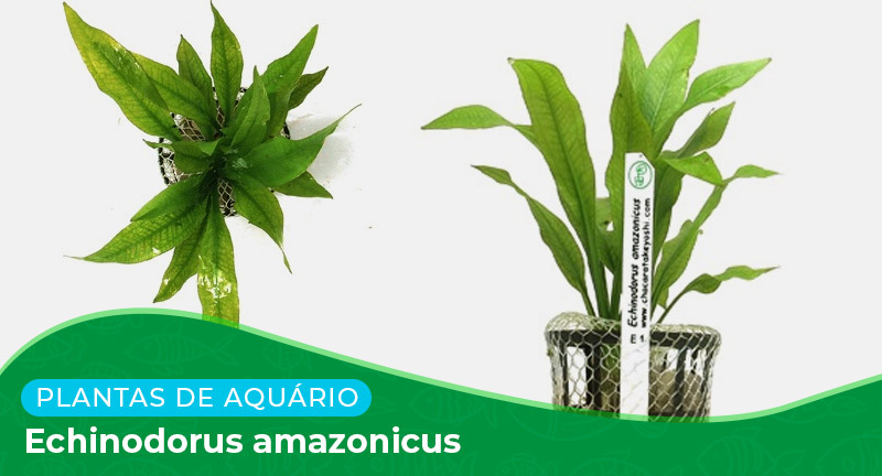 Ficha técnica: Planta Echinodorus amazonicus