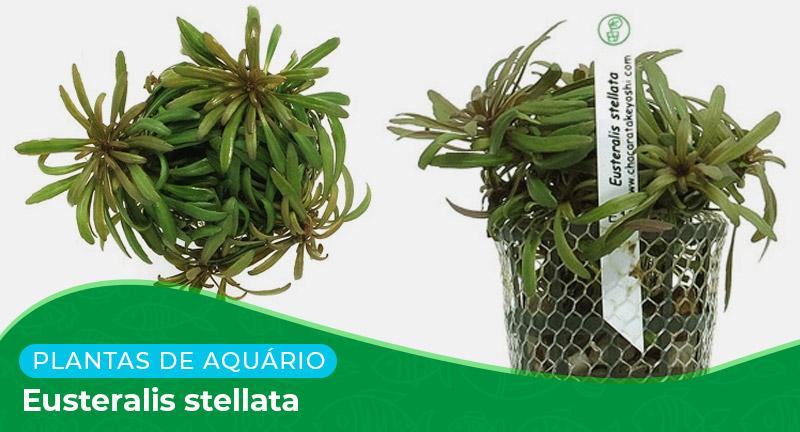 Ficha técnica: Planta Eusteralis stellata