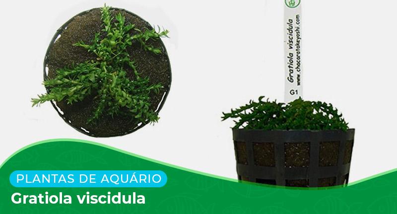 Ficha técnica: Planta Gratiola viscidula