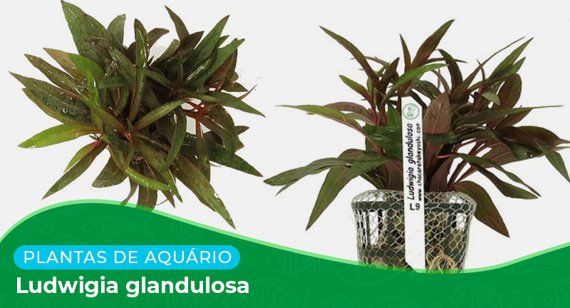 Ficha técnica: Planta Ludwigia glandulosa