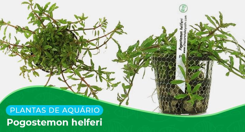Ficha técnica: Planta Pogostemon helferi