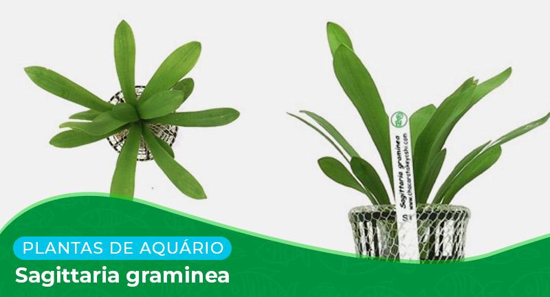 Ficha técnica: Planta Sagittaria graminea
