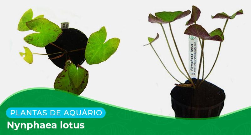 Ficha técnica: Planta Nymphaea lotus