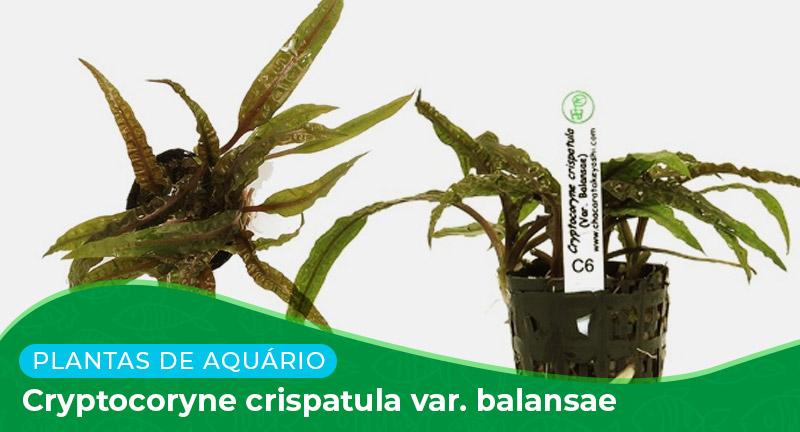 Ficha: Planta Cryptocoryne crispatula var. Balansae