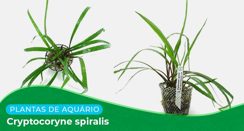 Ficha: Planta Cryptocoryne spiralis
