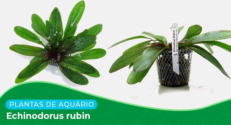 Ficha: Planta Echinodorus Rubin