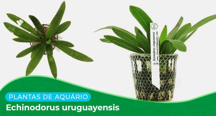 Ficha: Planta Echinodorus Uruguayensis