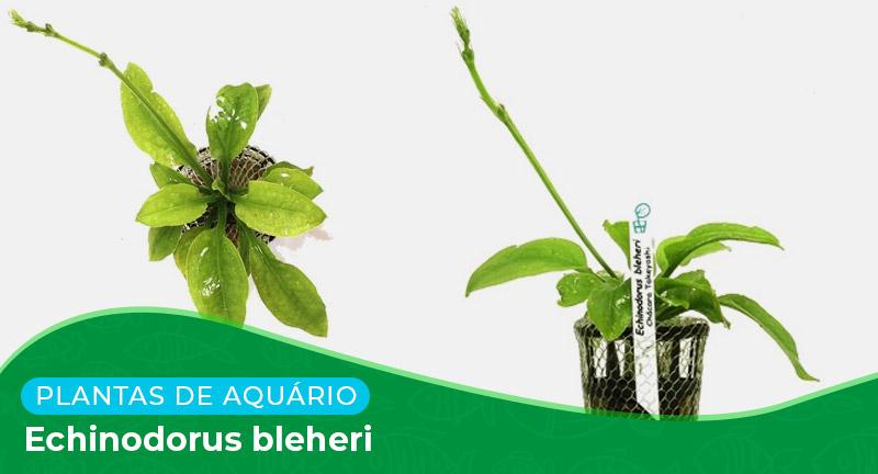 Ficha: Planta Echinodorus bleheri