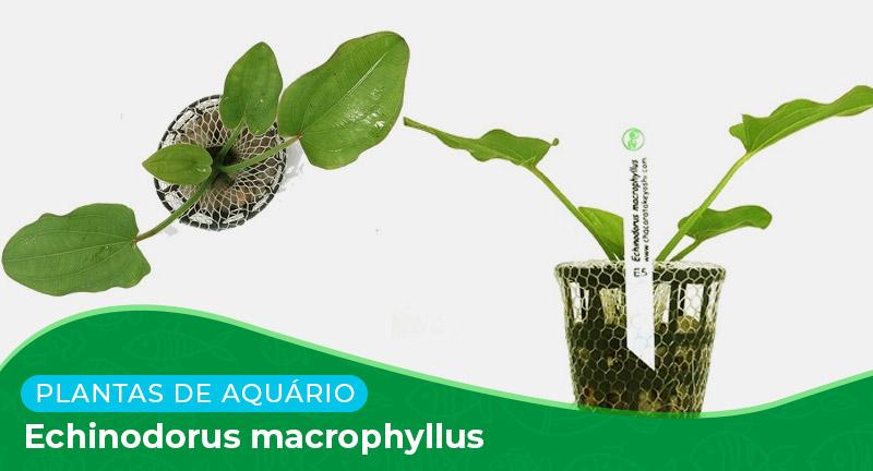 Ficha: Planta Echinodorus macrophyllus
