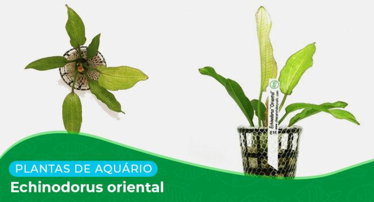 Ficha: Planta Echinodorus oriental