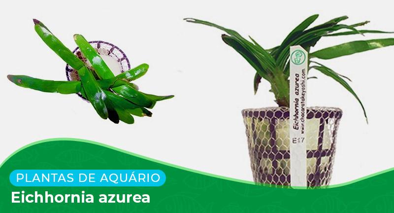 Ficha: Planta Eichhornia azurea