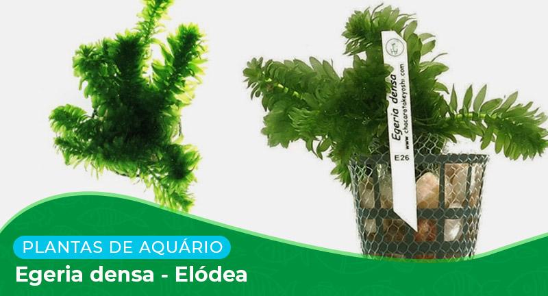 Ficha: Planta Egeria densa