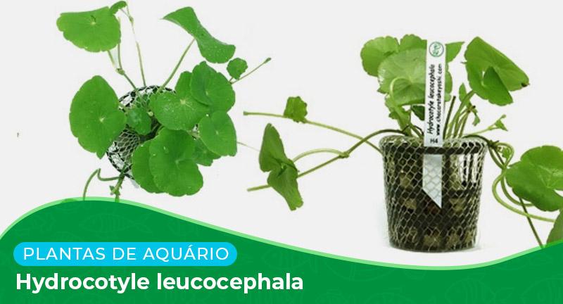 Ficha técnica: Planta Hydrocotyle leucocephala