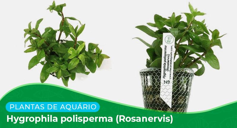 Ficha: Planta Hygrophila polisperma (Rosanervis)