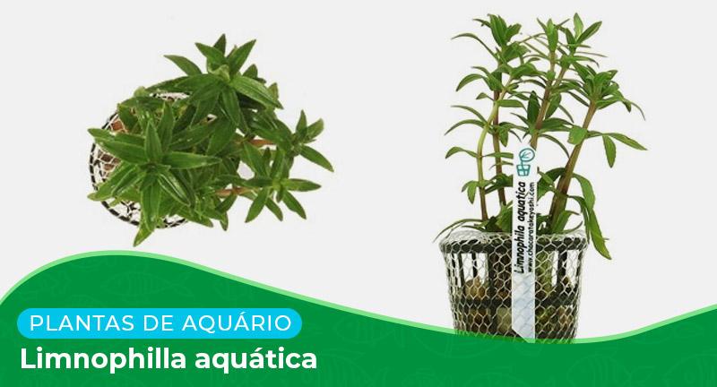 Ficha: Planta Limnophilla aquática