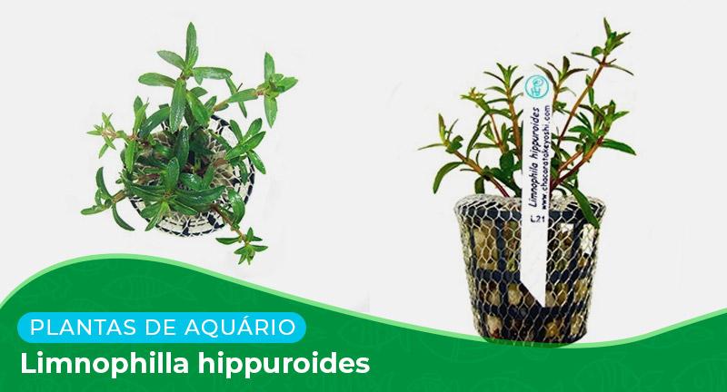 Ficha: Planta Limnophilla hippuridoides