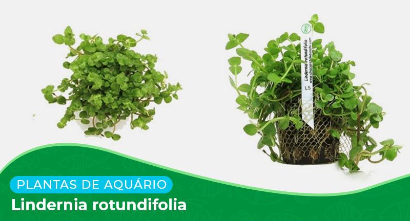 Ficha: Planta Lindernia rotundifolia