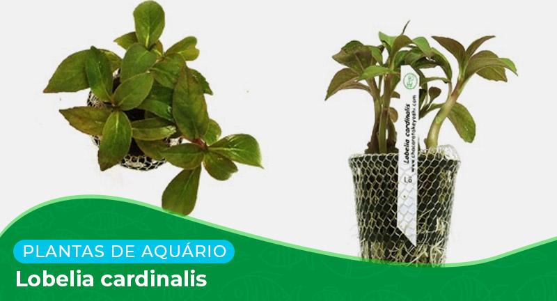 Ficha: Planta Lobelia cardinalis