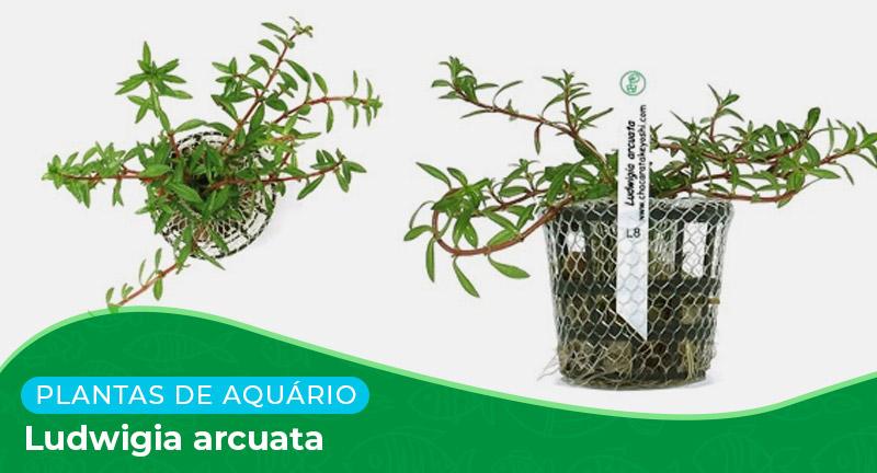 Ficha: Planta Ludwigia arcuata