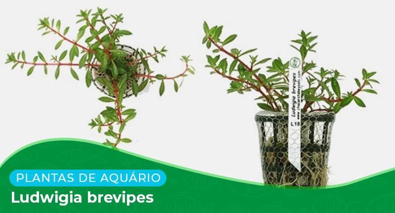 Ficha: Planta Ludwigia brevipes