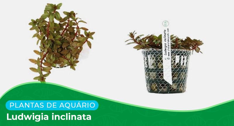 Ficha: Planta Ludwigia inclinata