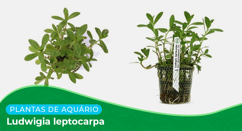 Ficha: Planta Ludwigia leptocarpa
