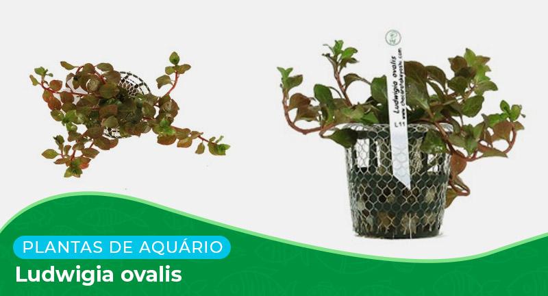 Ficha: Planta Ludwigia ovalis