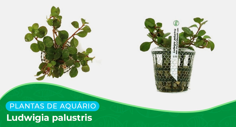 Ficha: Planta Ludwigia palustris