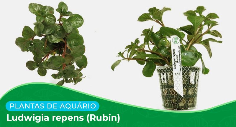 Ficha: Planta Ludwigia repens (Rubin)