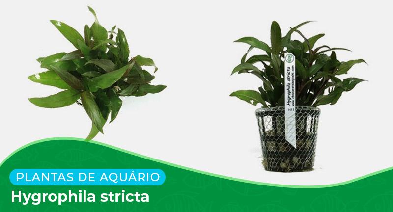Ficha: Planta Hygrophila Stricta