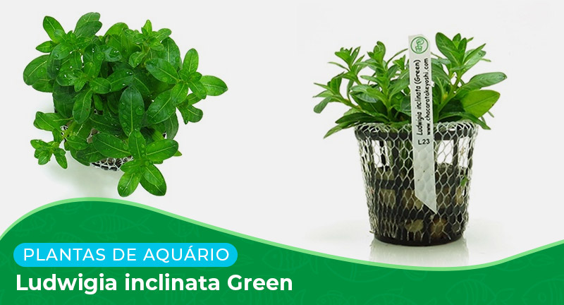 Ficha: Planta Ludwigia Inclinata Green